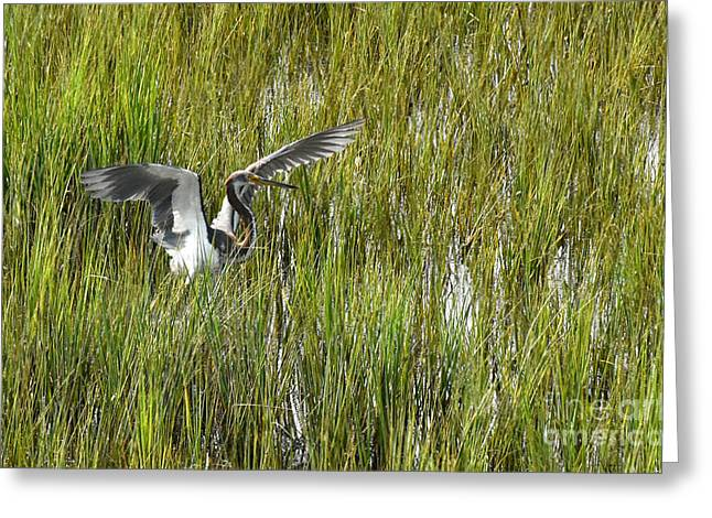 Nature Center Pond Greeting Cards - Blue Heron Taking Flight in Charleston Greeting Card by Joan Kaplan