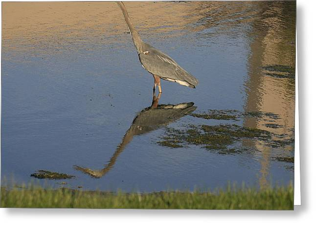 Great Birds Mixed Media Greeting Cards - Blue Heron-Time to reflect Greeting Card by Robert Pearson