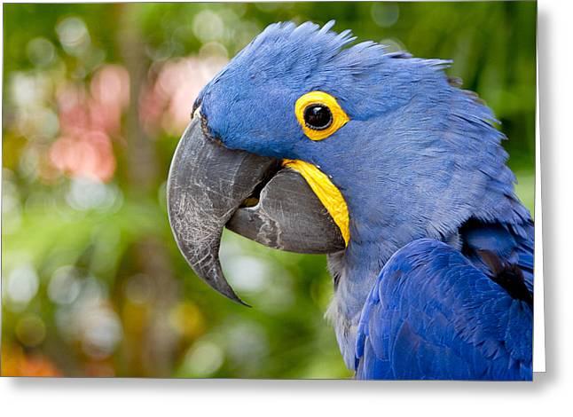 Hyacinth Macaw Greeting Cards - Blue Hyacinth Macaw Greeting Card by Sharon Mau