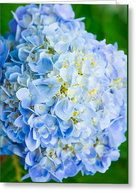 Pinks And Purple Petals Greeting Cards - Blue Hydrangea from Above Greeting Card by Shelby  Young
