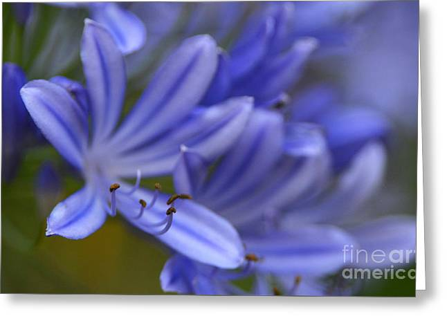 Photogaphy Greeting Cards - Blue In Bloom Greeting Card by Dan Holm