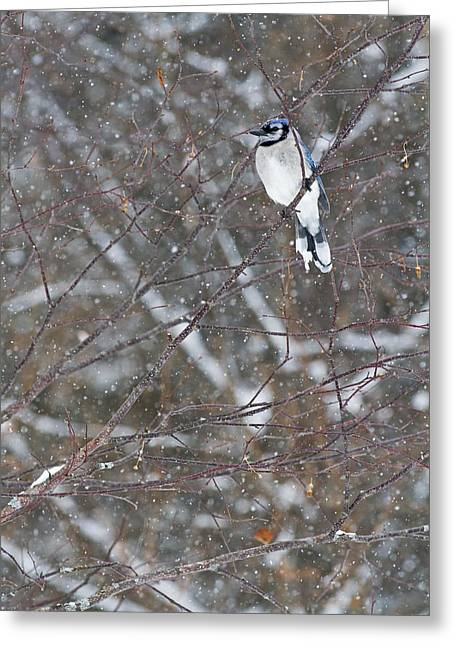 Blue Jay Images Greeting Cards - Blue Jay  Cyanocitta Cristata  Perched Greeting Card by Philippe Henry