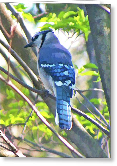 Blue Jay Greeting Card by Daphne Sampson