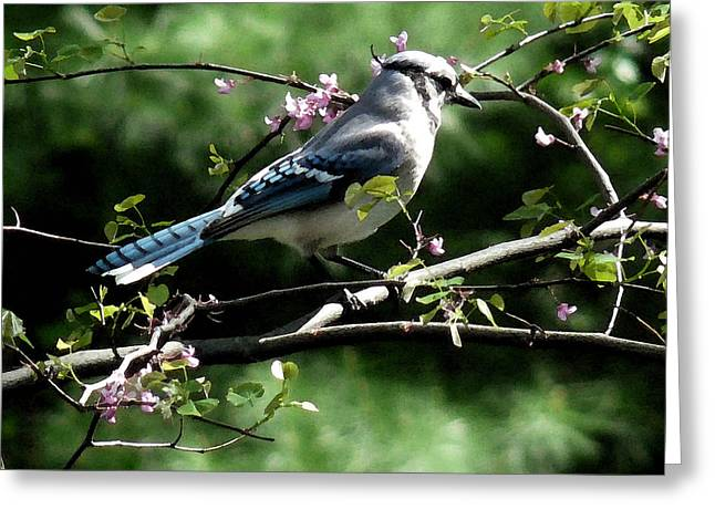 Red Bud Trees Greeting Cards - Blue Jay on Red Bud Tree Greeting Card by David Bearden