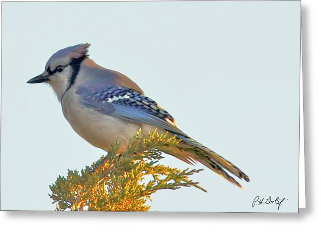 Blue Jay Images Greeting Cards - Blue Jay Greeting Card by Phill  Doherty