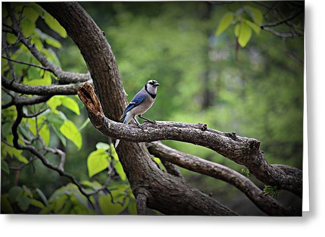 Nashville Tennessee Pyrography Greeting Cards - Blue Jay Posie Greeting Card by Buffy Butler