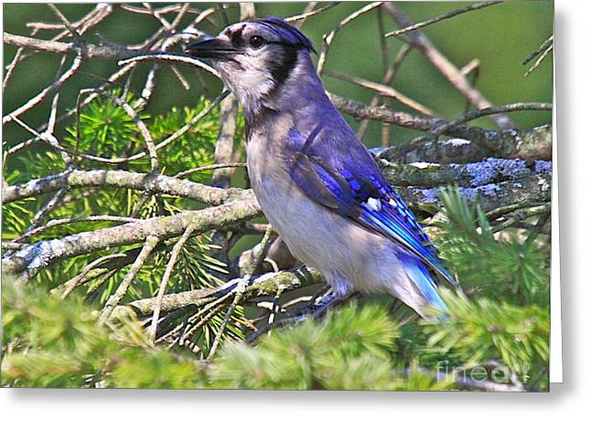 Great Birds Mixed Media Greeting Cards - Blue Jay Greeting Card by Robert Pearson