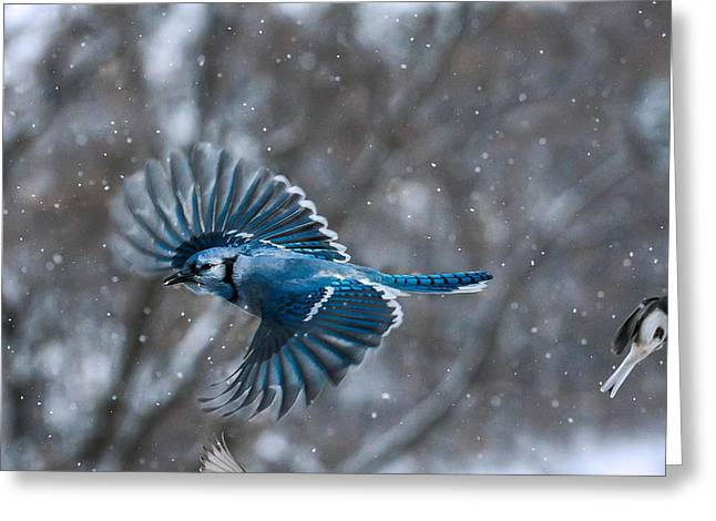 Actions Pyrography Greeting Cards - Blue Jay Greeting Card by Tim Morrill