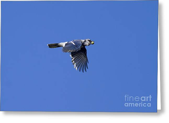 Hoarding Greeting Cards - Blue Jay With Acorn Greeting Card by Marie Read