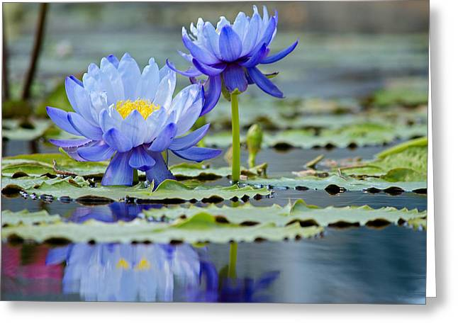 Lilly Pad Greeting Cards - Blue Lilies  Greeting Card by Kelly Anderson