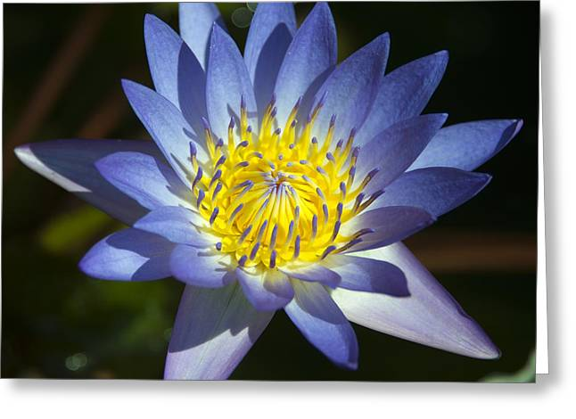 Water Lilly Greeting Cards - Blue Lotus  Greeting Card by Rob Hawkins