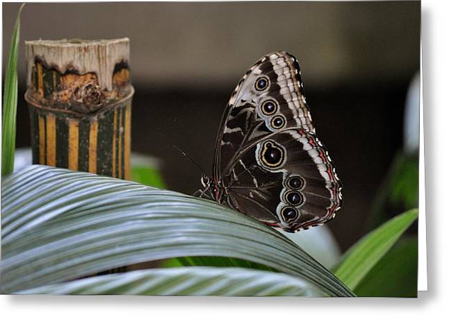 Blue Morpho Butterfly Eyespots Greeting Card by Debra  Miller