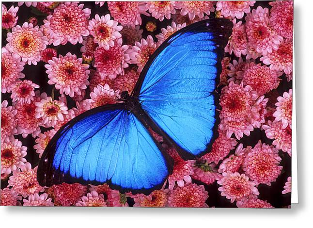 Biology Greeting Cards - Blue morpho butterfly Greeting Card by Michael Turco