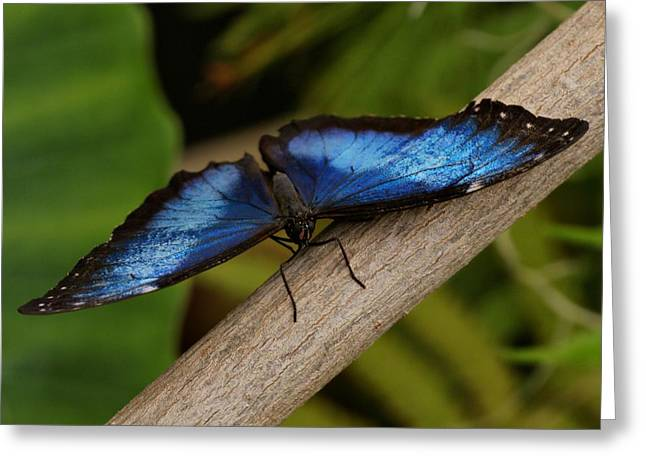 Blue Morpho Butterfly Greeting Card by Sandy Keeton