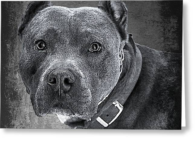 Blue Nose Pitbull Greeting Card by Robert Frank Gabriel