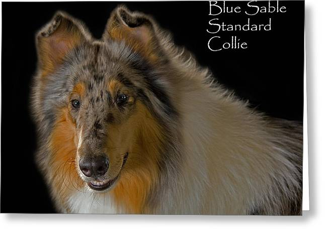 Bred Greeting Cards - Blue Sable Standard Collie Greeting Card by Larry Linton