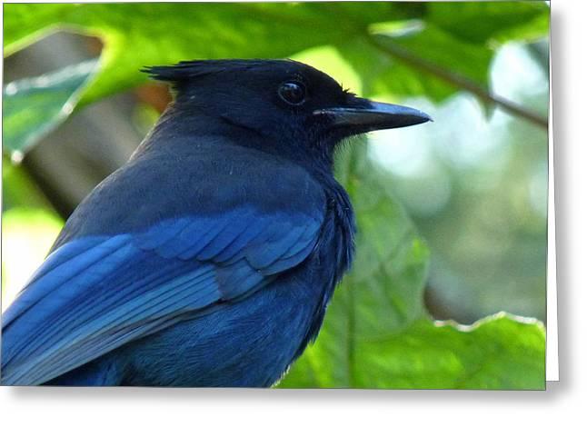 Stellar Jay Greeting Cards - Blue Greeting Card by Shannon Gresham
