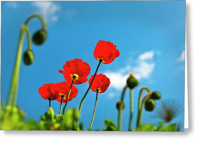 Blue Sky And Poppies Greeting Card by Tamyra Ayles