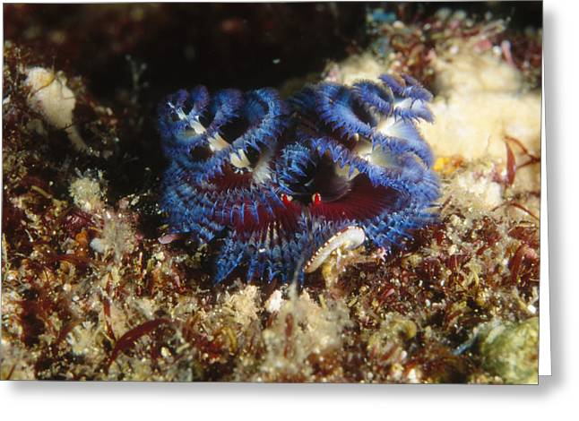Sea Of Cortez Greeting Cards - Blue Spiral Gilledtube Worm Greeting Card by James Forte