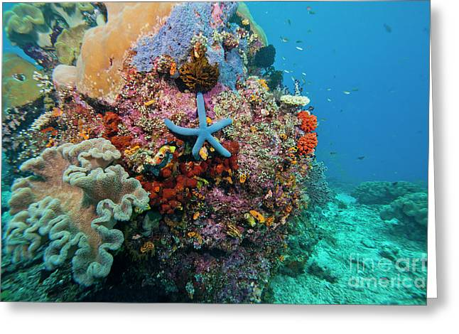 Undersea Photography Photographs Greeting Cards - Blue Starfish On Coral Reef, Raja Greeting Card by Beverly Factor
