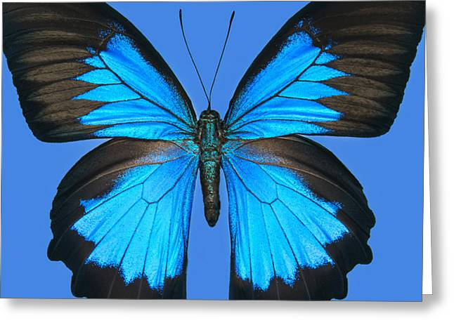Blue Swallowtail Butterfly Greeting Card by Lisbet Sjoberg