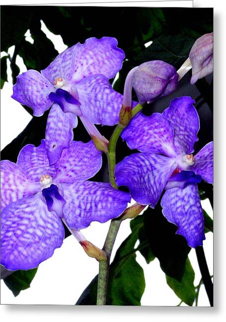 Blue Violet Orchids Greeting Card by Mindy Newman