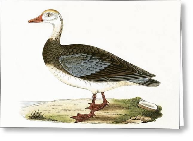 Blue Winged Goose Greeting Card by English School