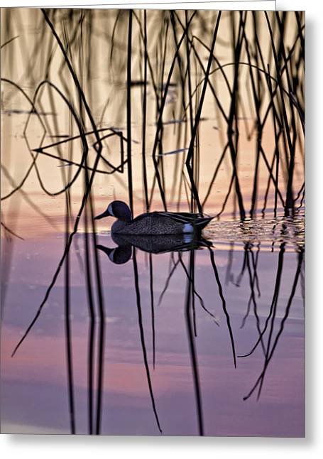 Bird Photographs Greeting Cards - Blue-Winged Teal on Colored Water Greeting Card by Rob Travis