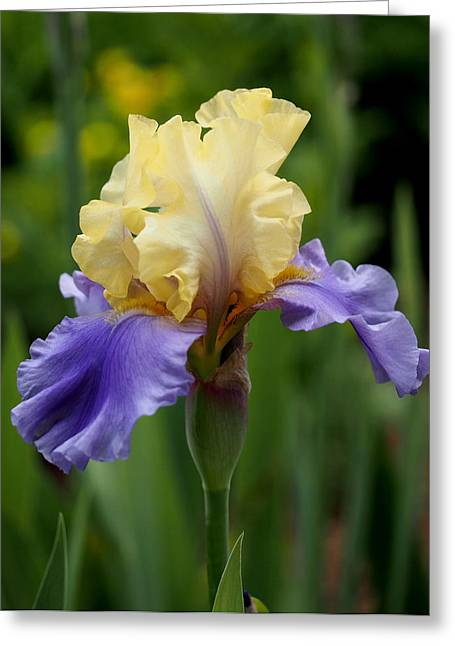 Blue Yellow Iris Germanica Greeting Card by Rona Black