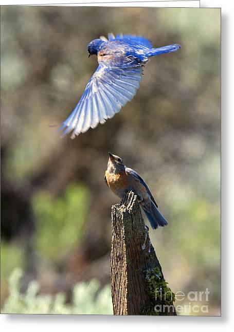 Bluebird Buzz Greeting Card by Mike Dawson