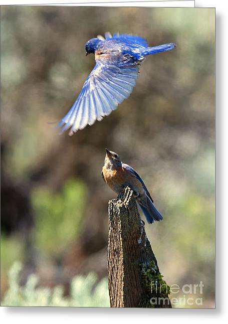 Bluebird Greeting Cards - Bluebird Buzz Greeting Card by Mike Dawson