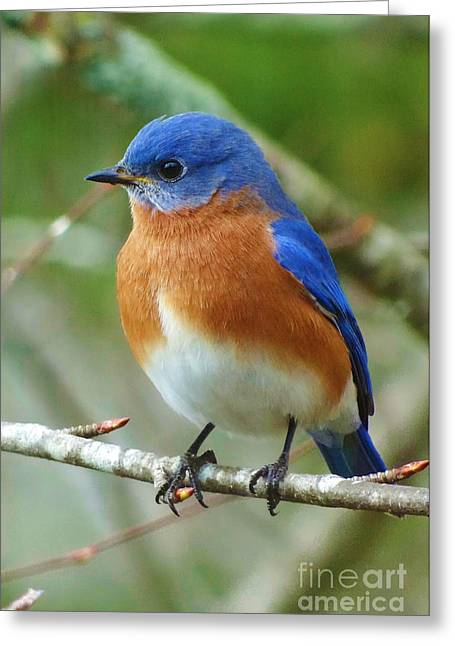 Eastern Bluebird Greeting Cards - Bluebird On Branch Greeting Card by Crystal Joy Photography