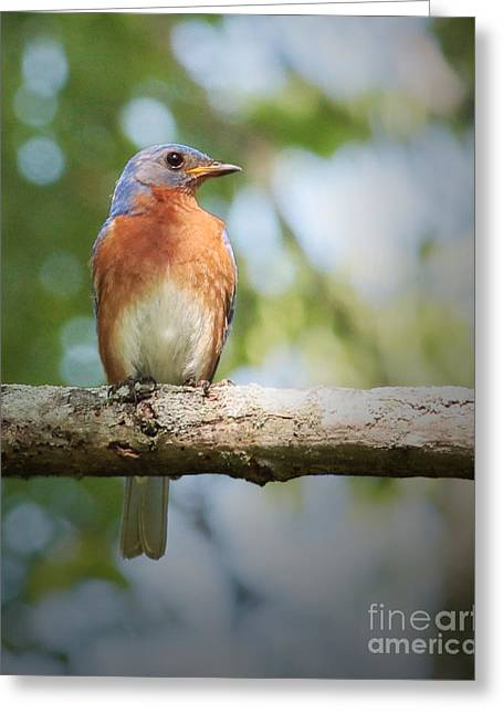 Ornithology Greeting Cards - Bluebird Perch Greeting Card by Anita Oakley