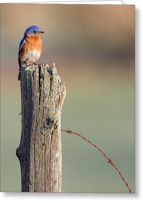 Minimalism Greeting Cards - Bluebird Portrait Greeting Card by Bill Wakeley
