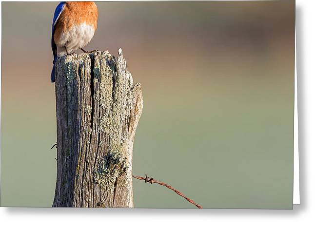 Square Format Greeting Cards - Bluebird Portrait Square Greeting Card by Bill Wakeley