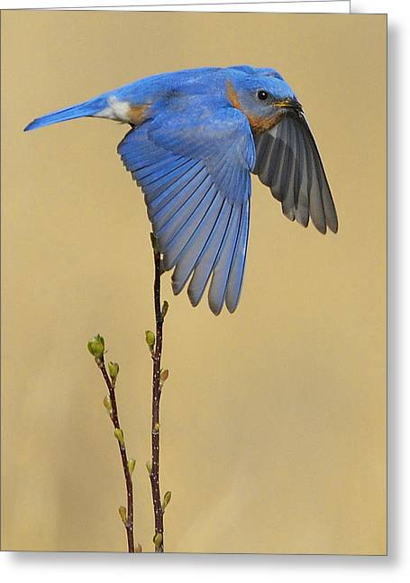 Eastern Bluebird Greeting Cards - Bluebird Takes Flight Greeting Card by William Jobes