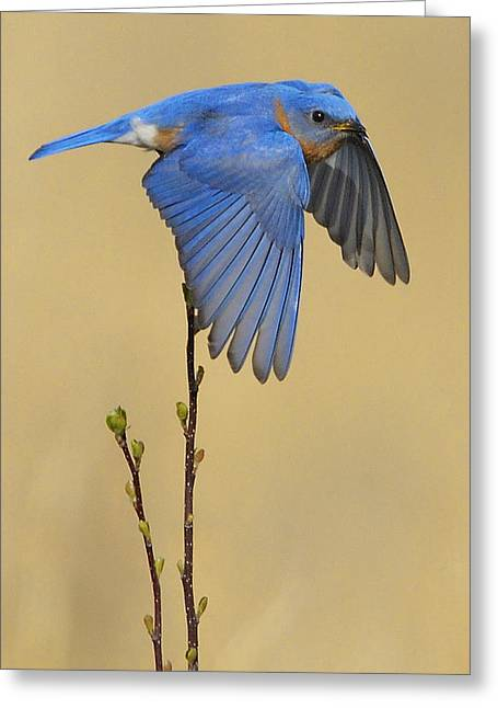 Bluebird Takes Flight Greeting Card by William Jobes