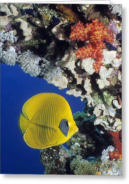Bony Fish Greeting Cards - Bluecheek Butterflyfish Greeting Card by Georgette Douwma