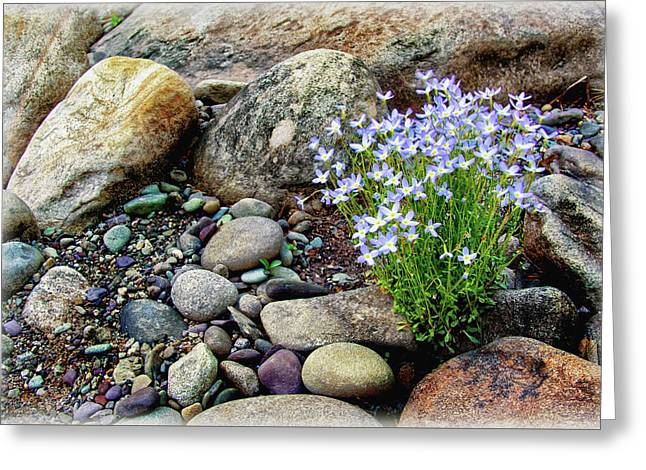 Stones Greeting Cards - Bluets among the River Rocks Greeting Card by Carolyn Derstine