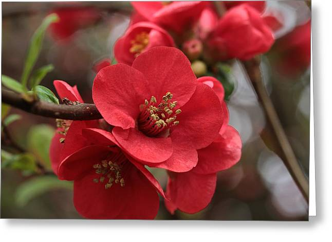 Quince Greeting Cards - Blushing Blooms Greeting Card by Connie Handscomb