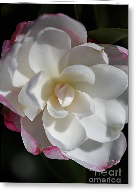 Botanical Greeting Cards - Blushing Camellia Greeting Card by Joy Watson