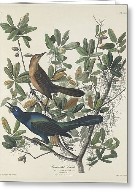 Boat Greeting Cards - Boat-Tailed Grackle Greeting Card by John James Audubon