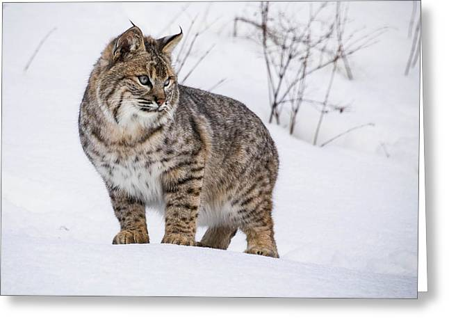 Bobcats Photographs Greeting Cards - Bob Cat Portrait Greeting Card by Steven Clevidence