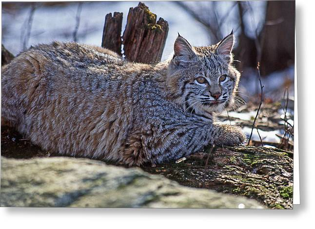 Bobcats Photographs Greeting Cards - Bobcat 2 Greeting Card by Andrea Aldrich