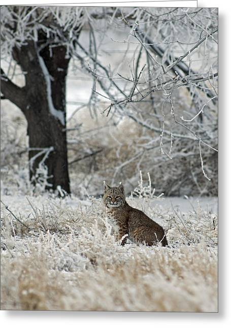 Bobcats Photographs Greeting Cards - Bobcat and Heavy Frost Greeting Card by Gary Langley