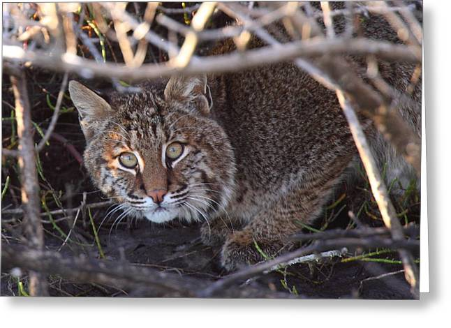 Best Sellers -  - Bobcats Photographs Greeting Cards - Bobcat Greeting Card by Bruce J Robinson