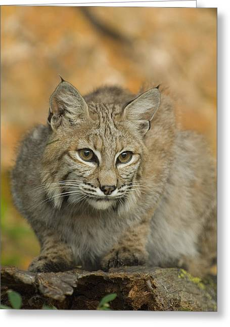 Best Sellers -  - Bobcats Photographs Greeting Cards - Bobcat Felis Rufus Greeting Card by Grambo Photography and Design Inc.
