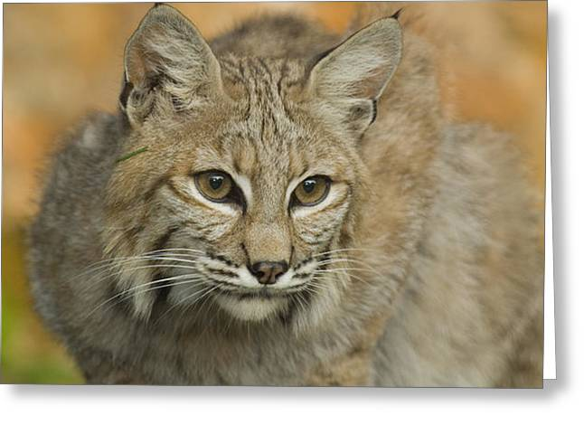 Bobcat Felis Rufus Greeting Card by Grambo Photography and Design Inc.