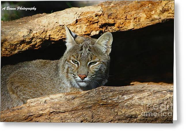 Bobcat Greeting Cards - Bobcat Hiding in a Log Greeting Card by Barbara Bowen