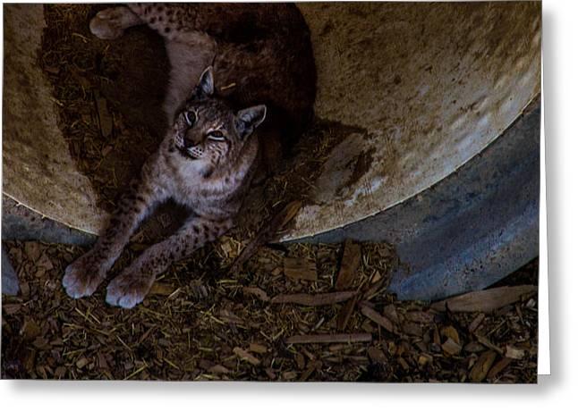 Bobcats Photographs Greeting Cards - Bobcat Greeting Card by Holly O